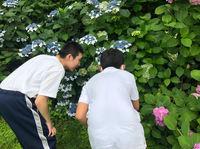公園アジサイ.jpg